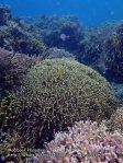 Phils_Moalboal_020_Coral-Gardens_P2031781_.JPG