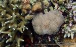 Phils_Moalboal_093_Jellybean-Coral_P2041961_.jpg