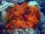 Phils_Moalboal_097_Red-Anemone-and-Nemos_P2041868_.jpg