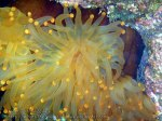 Phils_Moalboal_099_Yellow-Anemone_PC190548_.jpg