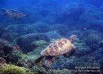 Phils_Moalboal_131_Turtles_PC210873_.jpg