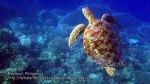 Phils_Moalboal_133_Turtles_vlcsnap-2012-02-12-03h52m24s13_.jpg