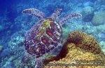 Phils_Moalboal_135_Turtles_vlcsnap-2012-02-02-13h10m13s105_.jpg