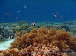 Phils_Moalboal_177_Humbug-Dascyllus-Damselfish_PC160231.JPG