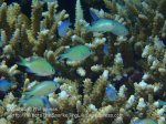 Phils_Moalboal_180_Chromis_PC150121.JPG