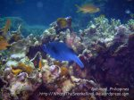 Phils_Moalboal_184_Black-Spot-Pufferfish_P2031675.JPG