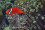 Phils_Moalboal_189_Tomato-Anemonefish_PC180445.JPG