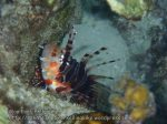 Phils_Moalboal_194_Lionfish_PC180385.JPG