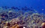 Phils_Moalboal_196_Surgeonfish_P2041828.JPG