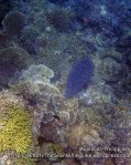 Phils_Moalboal_199_Striped-Eel-Catfish_P2021574.JPG