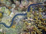 Phils_Moalboal_225_Sea-Krait_PC190557.JPG