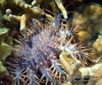 Phils_Moalboal_229_CoT-Starfish_PC200664_.jpg