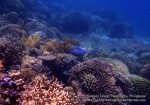Phils_Sumilon_067_Reef_P1301351.JPG