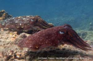 Thai_Kradan_Cuttlefish South West