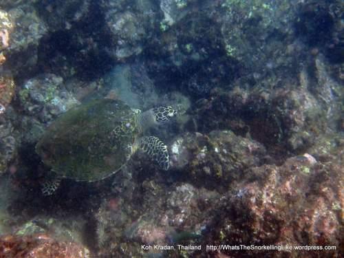 Thai_Kradan Turtle