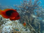 305_RedandBlackAnemonefish-Bulb-Anemones_p1125069.jpg