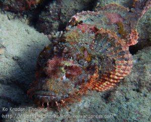 336_Tasselled-Scorpionfish_img_3604.jpg