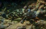 342_Starry-Grouper_Epinephelus-caeruleopunctatus_p1125219.jpg