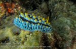 349_Black-Rayed-Fryeria-nudibranch_img_3906.jpg