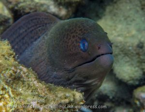 359_Giant-Moray-Eel_img_3879.jpg
