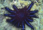362_Crown-of-Thorns-Starfish_img_3781.jpg