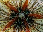 363_Sea-Urchin_img_4051.jpg