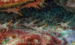 365_Striped-Hingebeak-Shrimp_Rhynchocinetes-durbanensis_img_4030_.jpg
