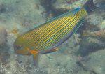 382_Lined-Surgeonfish_img_3783.jpg