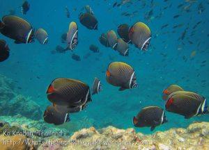405_Whitecollar-Butterflyfish_img_3876.jpg