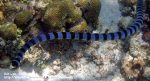 Banded Seasnake/Banded Sea Krait