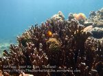 Thai_LipeEnv1_047_Yang-Blue-Coral_PB300775.JPG