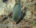 Thai_LipeEnv1_079_Rawi-Lined-Surgeonfish_PB300812.JPG