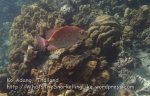 Thai_LipeEnv1_086_Adang-Gold-Saddle-Rabbitfish_PB300855.JPG