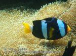 Thai_LipeEnv1_097_Adang-Clarkes-Nemo_PB300876.JPG