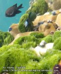 Thai_LipeEnv1_100_Adang-Algae-Damsel_PB300933.JPG