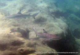 Ngai baby sharks