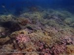 Thai_Ngai_v3_049_E1-Softcorals_P4100260.JPG