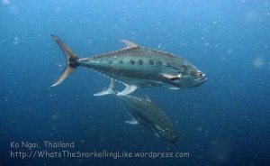Thai_Ngai_v3_087_E-Talang-Queenfish_P4140538_.jpg