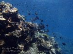 Thai_Ngai_v3_107_HJ-Corals_P1217508.JPG