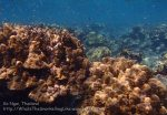 Thai_Ngai_v3_108_HJ-Corals_P1217515.JPG