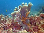 Sponge-Coral_P7060152.jpg