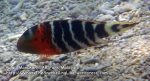 RedBreased-MaouriWrasse_P7060168_.jpg