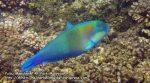 Parrotfish_P7060156_.jpg