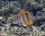 2-Beaked-butterflyfish_P7051897_.jpg