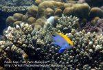Juvi-BlackDamselfish_P7051902_.jpg