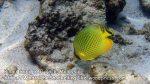 LatticeButterflyfish_P7051783_.jpg