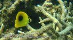 OvalSpot-Butterflyfish_P7051766_.jpg
