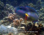 Parrotfish_P7051673_.JPG