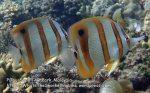 2-Beaked-butterflyfish_P7090352_.jpg