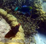 Parrotfish_P7051830__.jpg
